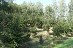 Coniferous trees Royalty Free Stock Image