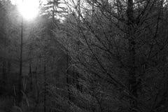 Coniferous trees in winter Stock Image