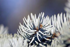 Coniferous twig in detail Royalty Free Stock Photos