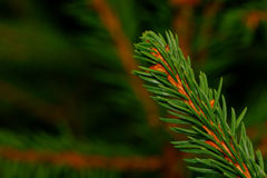 Coniferous twig Stock Image