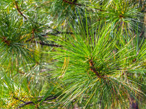 Coniferous vegetation background Stock Images