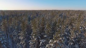 Coniferous winter forest with snowy trees. Aerial view. stock video
