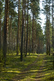 Coniferous wood landscape. Small road deep in the forest Royalty Free Stock Image
