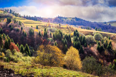 Coniferous and yellowed trees in valley on a mountain hillside w Royalty Free Stock Photo