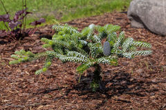 Coniferous young bush Stock Photos