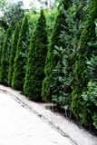 Conifers Stock Photo