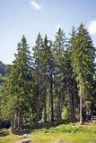 Conifers Zdjęcie Stock