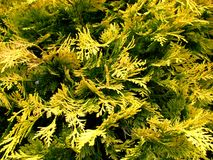 Conifers Royalty Free Stock Image