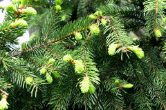 conifers Imagens de Stock