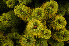 Conifers from above Royalty Free Stock Images