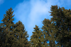 Conifers Against Blue Sky. Green conifers against blue sky with white clouds stock images