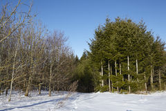 Conifers and bald trees into a snowscape Royalty Free Stock Photography