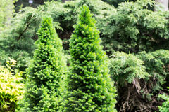 Conifers Stock Images