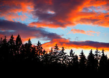 Conifers on evening sky Stock Photo