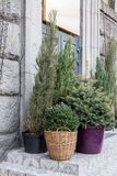 Conifers in the flowerpot. Various needles. Vases in the street. Conifers in the flowerpot. Large flowerpots near the house stock photography