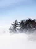 Conifers in fog Stock Images