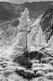 Conifers in Foreground. Conifers on the mountainside taken in infrared blackandwhite, monochrome mode, which is rendering all green as white or grey Royalty Free Stock Photos