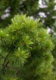 Conifers Stock Image