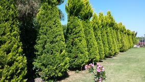 Conifers. The Government of trees, conifers Royalty Free Stock Image