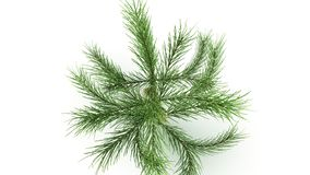Conifer Leaf. Conifers are of immense economic value, primarily for timber and paper production stock photography
