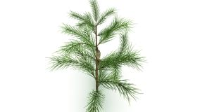 Conifer Leaf. Conifers are of immense economic value, primarily for timber and paper production stock image