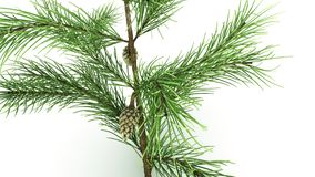 Conifer Leaf. Conifers are of immense economic value, primarily for timber and paper production stock photo