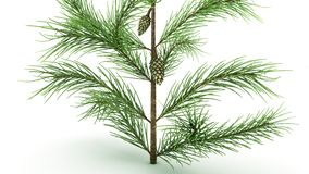 Conifer Leaf. Conifers are of immense economic value, primarily for timber and paper production royalty free stock images