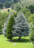 Conifers and pines with a thousand gradients of green Royalty Free Stock Image