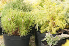 Conifers in pots in the nurseryConiferous trees in pots in the nursery are ready for sale. Conifers in pots in the nursery Royalty Free Stock Images