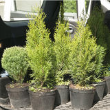 Conifers in pots in the trunk of a car. Conifers in pots ready for sale in the trunk of a car Stock Images