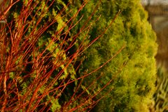 Among conifers red. royalty free stock photos