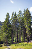 Conifers. Several conifers on the edge of a forest Stock Photo