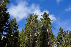 Conifers and sky Stock Photography
