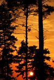 Conifers at sunset Stock Image