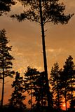 Conifers at sunset Royalty Free Stock Photo