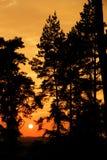 Conifers at sunset Stock Photos