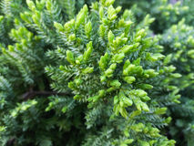 Conifers texture background. Conifers texture green fresh background Stock Photo
