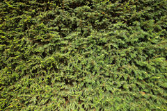CONIFERS texture Stock Image