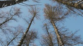 Conifers in winter growing in the form of an alley. With sky stock footage