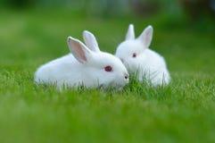 Conigli bianchi del bambino divertente in erba Fotografie Stock Libere da Diritti