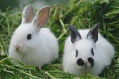 Conigli bianchi sull'erba closeup fotografia stock