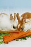 Conigli che mangiano le carote Fotografia Stock