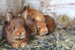 Conigli dalla piccola azienda agricola domestica Fotografia Stock Libera da Diritti