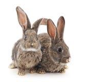Conigli del bambino Immagine Stock