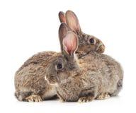 Conigli del bambino Immagini Stock