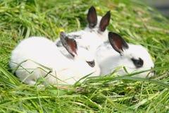 conigli del bambino su erba verde Immagine Stock