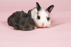 Conigli del bambino su fondo rosa Immagine Stock