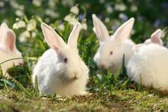 Conigli della moltitudine Immagine Stock
