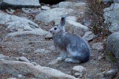Conigli della montagna Fotografia Stock