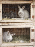 Conigli di allevamento Fotografia Stock